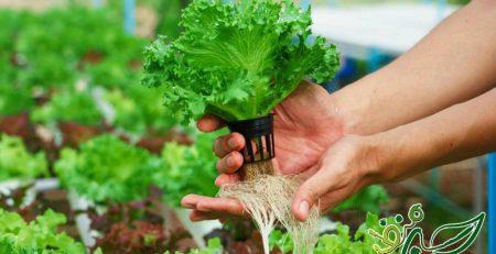 کاشت سبزی خوردن به روش هیدروپونیک