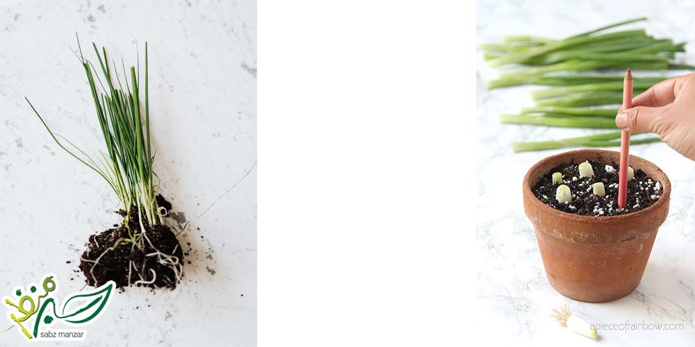کاشت پیازچه در خاک_ سبز منظر